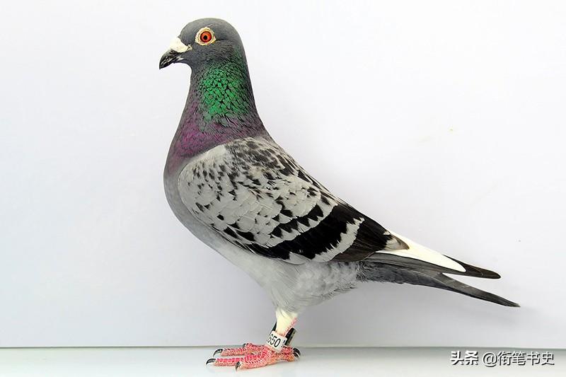 信鸽能从1000公里外返回巢穴 在朝鲜的狭长战场中意外地实用